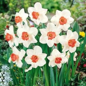 Нарцисс крупноцветковый Пинк Шарм рисунок 2
