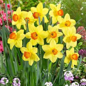 Нарцисс крупноцветковый Ред Девон рисунок 3