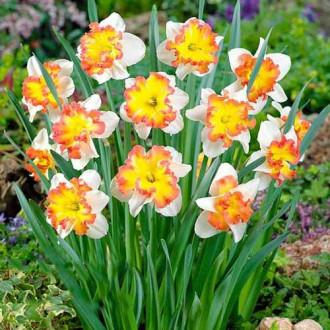 Нарцис спліт-корона Таурус зображення 5