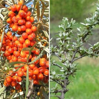 Обліпиха Алтайська: чол.(1) + жін.(1) зображення 2