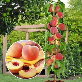 Персик колоновидный Медовый рисунок 7