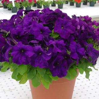 Петуния Лимбо фиолетовая F1 Садыба центр рисунок 8