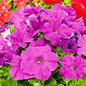 Петунія Лімбо пурпурова F1 Садиба центр зображення 8