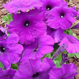 Петуния Мамбо насыщенно-пурпурная F1 Садыба центр рисунок 2