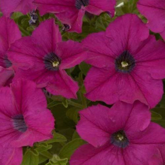 Петунія Мамбо пурпурова F1 Садиба центр зображення 7