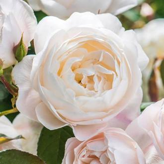 Троянда англійська Дездемона зображення 4