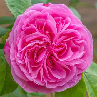 Троянда англійська Гертруда Джекілл зображення 6