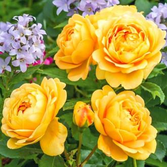 Роза английская Голден Селебрейшн рисунок 3