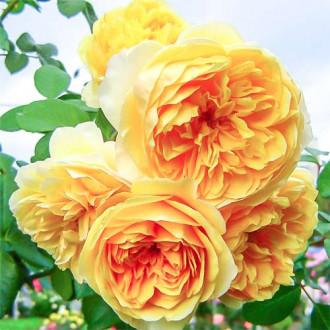 Роза английская Грэхам Томас рисунок 4