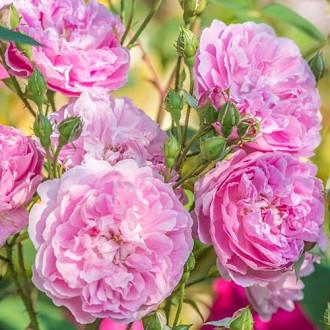 Роза английская Харлоу Карр рисунок 1
