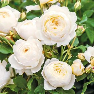 Троянда англійська Клер Остін зображення 2