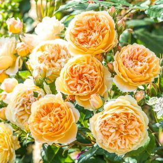 Роза английская Корона Принцессы Маргарет рисунок 7