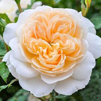 Роза английская Крокус Роуз рисунок 8
