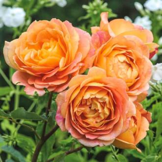Троянда англійська Леді оф Шалот зображення 2