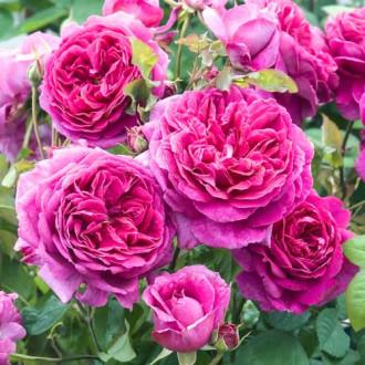 Троянда англійська Пінк Леді зображення 4