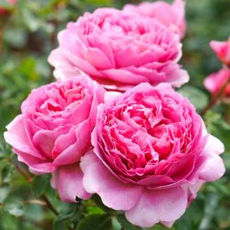 Роза английская Принцесс Алесандра оф Кент рисунок 2