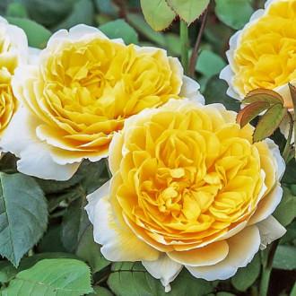 Троянда англійська Шарлотта зображення 1