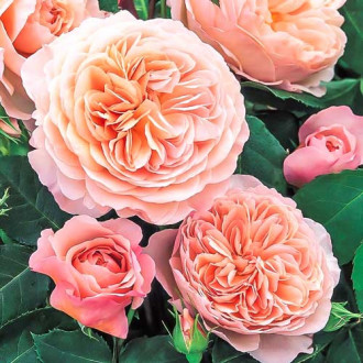 Троянда англійська Вільям Морріс зображення 2