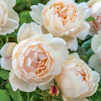 Троянда англійська Волертон Олд Холл зображення 5