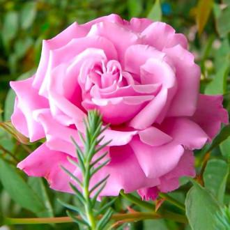 Троянда чайно-гібридна Аметист зображення 1