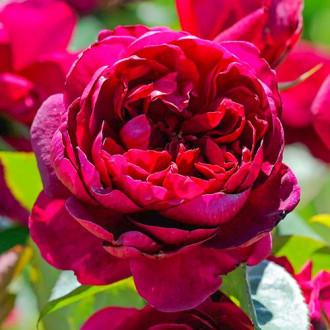 Роза чайно-гибридная Аскот рисунок 4