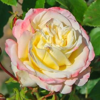Роза чайно-гибридная Атена рисунок 5