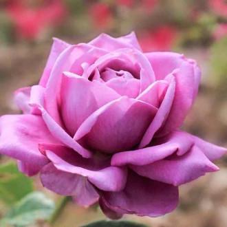 Роза чайно-гибридная Блю Парфюм рисунок 4