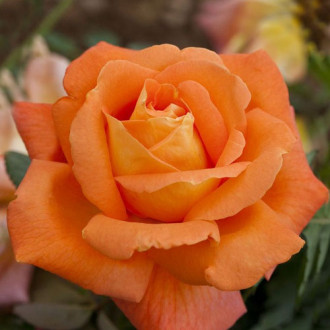 Троянда чайно-гібридна Черрі Бренді зображення 5