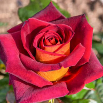Троянда чайно-гібридна Едді Мітчел зображення 3