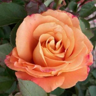 Роза чайно-гибридная Экзотика рисунок 1