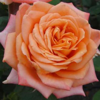 Роза чайно-гибридная Эльдорадо рисунок 1
