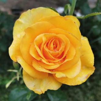 Роза чайно-гибридная Голден Моника рисунок 5