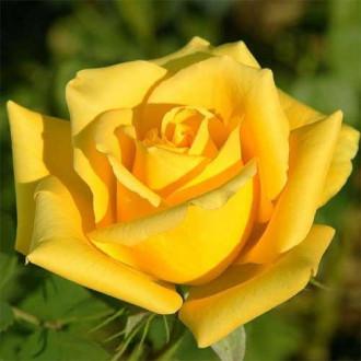 Роза чайно-гибридная Ландора рисунок 7
