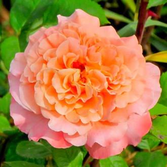 Роза чайно-гибридная Августа Луиза рисунок 8