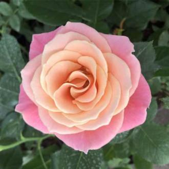 Троянда чайно-гібридна Місс Піггі зображення 1