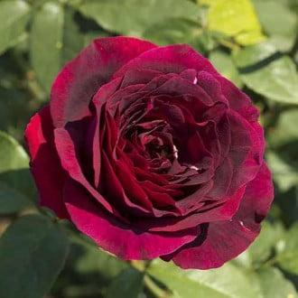 Роза чайно-гибридная Олд Ромео рисунок 1