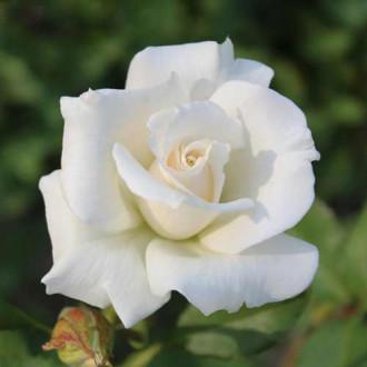 Троянда чайно-гібридна Паскалі зображення 6
