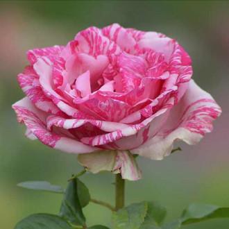 Троянда чайно-гібридна Пінк Інтуїшн зображення 8