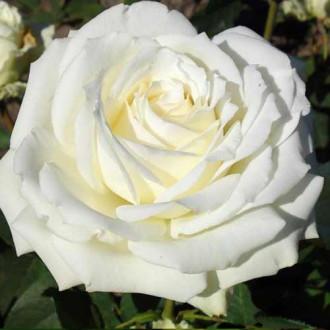 Троянда чайно-гібридна Полярна зірка зображення 7