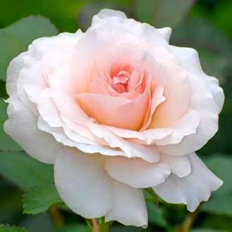 Троянда чайно-гібридна Сильвія зображення 3