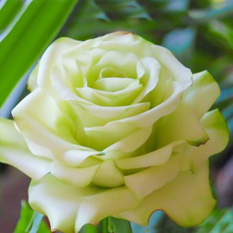 Троянда чайно-гібридна Супер Грін зображення 2