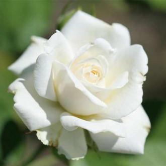Роза чайно-гибридная Вайт Симфони рисунок 1