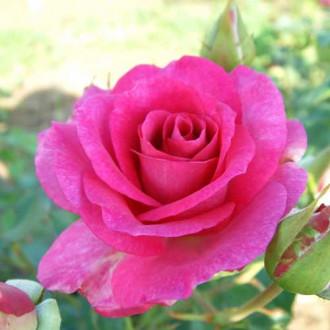 Троянда чайно-гібридна Віолет Парфум зображення 4