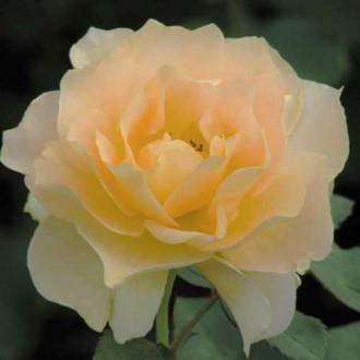 Роза чайно-гибридная Йеллоу Квин Элизабет рисунок 4