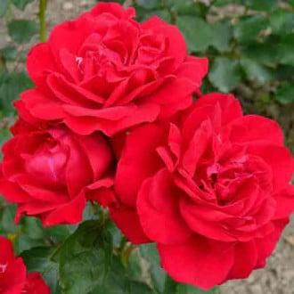 Троянда флорібунда Блек Черрі зображення 1