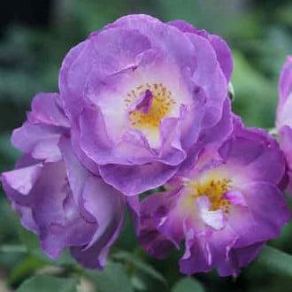 Роза флорибунда Блю фо Ю рисунок 7