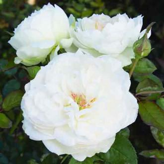 Троянда флорібунда Болеро зображення 3