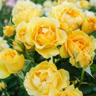 Троянда флорібунда Джулія Чайлд зображення 5