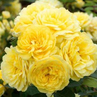 Роза флорибунда Фрезия рисунок 4