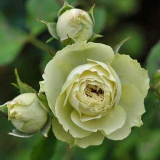 Роза флорибунда Лавли Грин рисунок 5